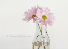 """""""She loved life and it loved her right back."""" (polkadotandplaid) Tags: pink flowers stilllife beauty soft quote bloom inspiring gentle"""