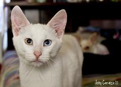 Ruby Tagged (koolest_mom_of_4) Tags: white cute cat eyes feline kitty odd gato gata eyed beutiful kissablekat bestofcats