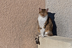 Le bain de soleil de mademoiselle S (jeanmichelchuiche) Tags: cool chat ombre yeux sunbath moustache queue murs chatte vias tricolore baindesoleil