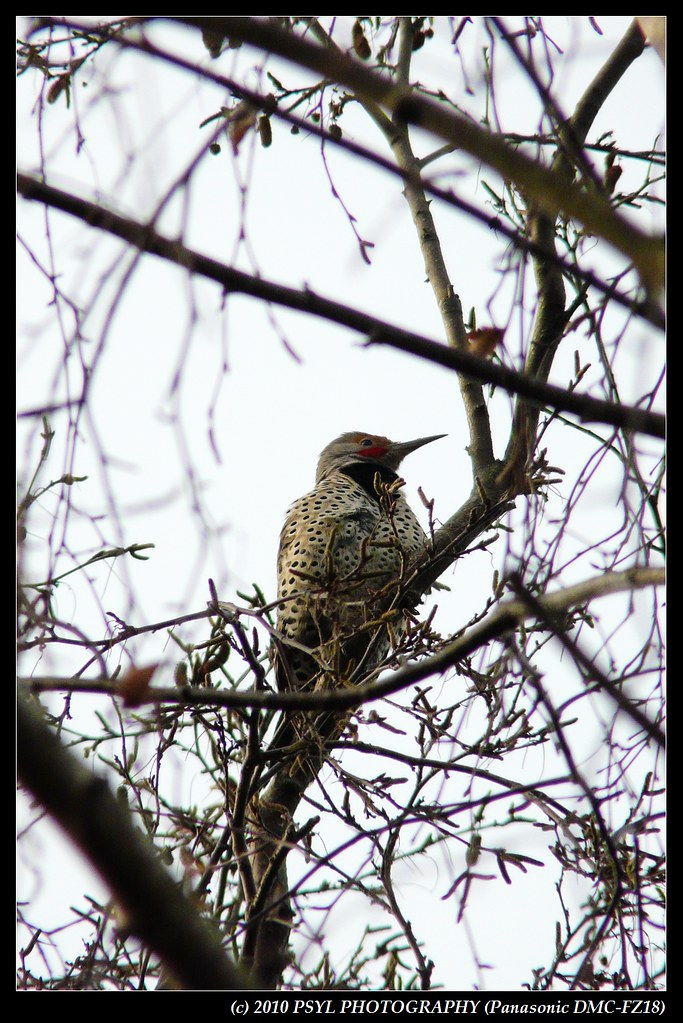 Male Northern Flicker (Colaptes auratus)