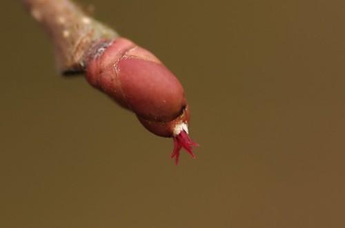 Corylus avellana | Hazelaar, vrouwelijk bloempje - Hazel, female flower