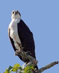 Osprey Looking at Me... (MickiP65) Tags: blue wild sky usa bird gulfofmexico nature grass birds animal animals outside outdoors branch gulf florida wildlife birding aves creation watson northamerica fl fowl february creatures creature fla birdwatching cedarkey osprey animalia levy birdsofprey allrightsreserved birdofprey pandionhaliaetus 2010 ospreys audubon hodges gulfcoast copyrighted 020810 chordata canonef75300 canoneos30d michellepearson wildobs mickip mickip65 20100208 img0032202 02082010