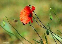 Volucelle et coquelicots (didier95) Tags: flowers flower fleur fleurs rouge coquelicot mfcc thegalaxy fabuleuse unlimitedinsectslevel1