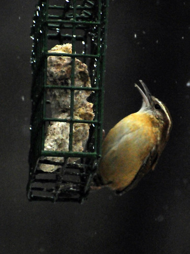 carolina wren suet 2