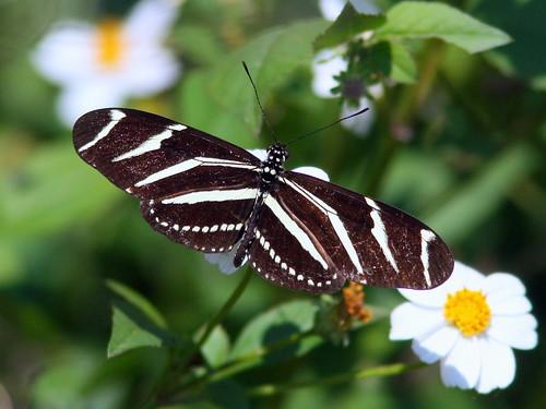 Zebra (Heliconius charitonius) 20100211