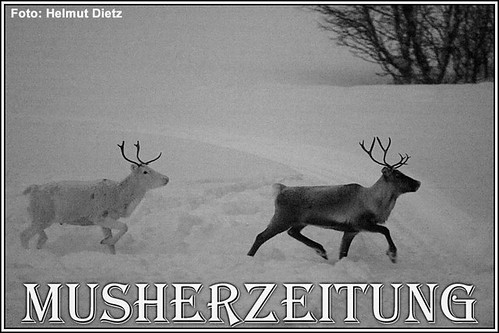 Femundlopet: Rentiere-Reindeer