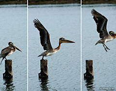 come....fly with me. (afphotography2000) Tags: birds pelican estuary alameda oaklanddoolittle