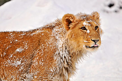 Snowy Jasraj (Tambako the Jaguar) Tags: winter wild snow male tongue cat zoo cub switzerland big nikon feline leo zurich lion young kitty zrich asiatic lwe d300 panthera pantheraleo vosplusbellesphotos