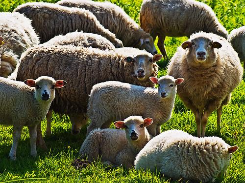 La oveja Maya... y familia
