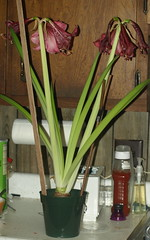 Amaryllis on February 20, 2010