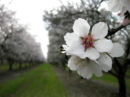 *In the time of Almond Blossom - Bakersfield California