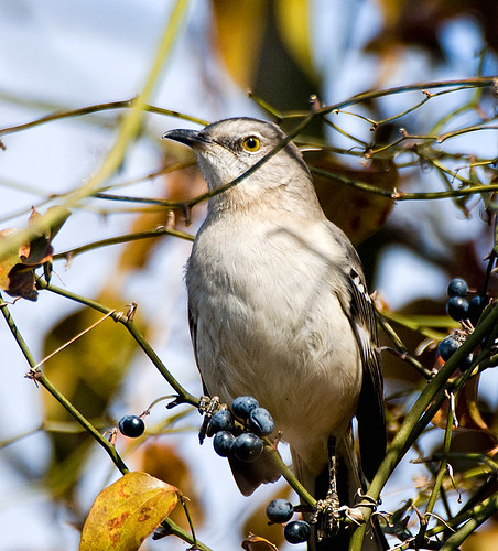 Mockingbird and berries
