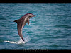Freedom (Shabbir Ferdous) Tags: blue sea color colour water freedom jump photographer shot natural action song dolphin bangladesh bottlenose bangladeshi ef70200mmf28lisusm thebayofbengal canoneos5dmarkii shabbirferdous swatchofnoground wwwshabbirferdouscom shabbirferdouscom