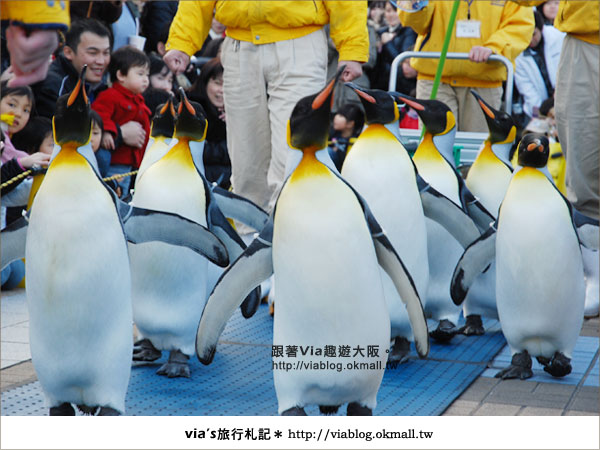 【via關西冬遊記】大阪海遊館~冬季限定!無敵可愛企鵝遊行來囉!19