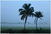 Standing alone.. (Naseer Ommer) Tags: india coconut foggy kerala alleppey alappuzha cocosnucifera canon28105mm kuttanad naseerommer concordians canoneos5dmarkii discoverplanet dpintl