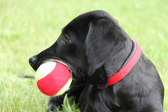 Tennis (sjaradona) Tags: red dog black animal canon labrador tennis colar 2009 kangoo