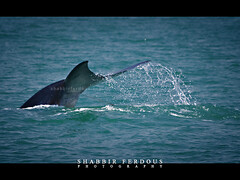 Bryde's Whale (Shabbir Ferdous) Tags: blue sea color colour water photographer shot natural action song dive deep splash majestic bangladesh bangladeshi ef70200mmf28lisusm baleenwhale thebayofbengal canoneos5dmarkii shabbirferdous bryde'swhale swatchofnoground wwwshabbirferdouscom shabbirferdouscom