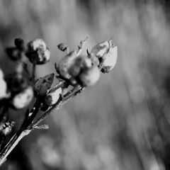 figwort (the incredible how (intermitten.t)) Tags: bw dry brittle figwort 9970 winterflora 101209 anothertidyupdiscoversmoredecemberimages theremaybesomedecemberjanuarystufflurkingunsorted