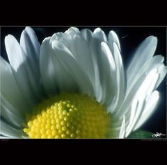 simply soft (guido ranieri da re: work wins, always off) Tags: macro olympus daisy indianajones margherita om40 homeshots nonsonoglianniamoresonoichilometri guidoranieridare