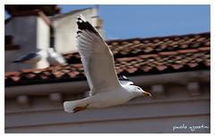 libero (paolo agostini) Tags: gaviota gabbiani gabbiano chioggia