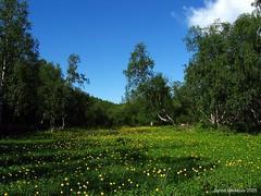 Kulleroita (Janne Maikkula) Tags: summer nature clouds finland koivu lapland birch lappi luonto pilvet helle karigasniemi kullero kesä ikithule