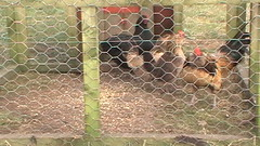 Hens and Cockerels (NORMANPICKERING.COM) Tags: rooster hens australorp cockerels lightsussex bantampeking belgiandambers orpingtoncockerel