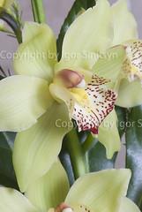 Orchid (Igor Sinitsyn) Tags: plant orchid flower macro green yellow closeup close orchids petal orchidaceae lip ovary cymbidium cypripedium caladenia orchide labellum tepal pedicel tepals arietinum