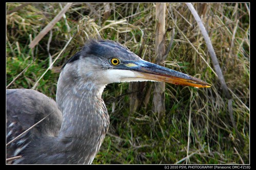 Great Blue Heron (Ardea herodias) with vole in throat