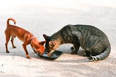 Amistad / Friendliness (Juan Antonio Cap) Tags: dog animal cat amigo friend kat feline chat canoneos20d perro gato felino katze mace comer  gatto  kot amistad gat koka kedi kissa kttur maka kucing pusa chiuaua mo moix  friendliness   minino  canido   pisic