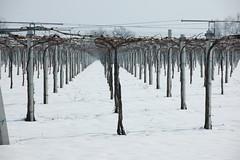 Neve a marzo - Vigna 2 (Antonio_Trogu) Tags: italien italy snow strada italia vine vineyards neve neige italie 2010 emiliaromagna formigine nikon18200 stradella nikond40 casinalbo antoniotrogu