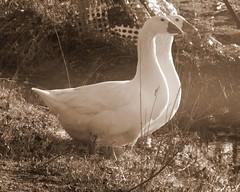 Happy Twosome    :) (**Ms Judi**) Tags: friends two cute love beautiful sepia geese sweet country feathers adorable farmland lovely twosome peshtigowisconsin farmgeese judippc photographybymsjudi happytwosome