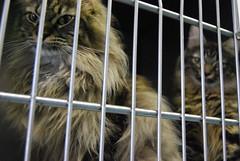 Sarabi and Akida (meejoebee) Tags: pet cats pets ontario canada cute animal cat catwomen feline homeless kitty hamster kitties milton shelter spca adopt oakville animalshelter oakvillehumanesociety