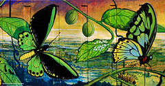 Ornithopera richmondia - Male Richmond Birdwing Butterfly and Paristolochia praevenosa - Richmond Birdwing Vine in Fruit (Treasures of the Tweed Mural) (Black Diamond Images) Tags: treasuresofthetweedmuralproject treasuresofthetweedmural murwillumbah davidadams nswaustralia tottmp ornithoptera ornithopterarichmondia malerichmondbirdwingbutterfly richmondbirdwingbutterfly nsw australia mtwollumbincaldera butterflies australianbutterflies mtwarningcaldera pararistolochia pararistolochiapraevenosa richmondbirdwingvine papilionidae aristolochiaceae australiannativeplants rainforestfruits australianrainforestfruits australianrainforestseeds rainforestseeds arfp australianrainforestplant rainforestplant rainforestplants blackdiamondimages educationalmural threatenedspecies florafauna tweedcaldera endangeredecologicalcommunities2008present tweedartgallery treasuresofthetweed commercialroad commercialrd