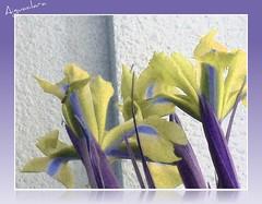 iris3T (aiguaclara) Tags: iris flower verde green planta canon flor natura lila amarillo yelow picnik groc verd morat theunforgettablepictures