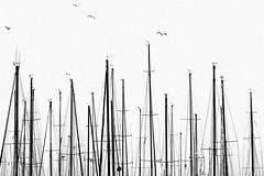 Alberi (Effe.Effe) Tags: bw seagulls monochrome barche bn minimal masts gabbiani sailingboats vele biancoenerografico