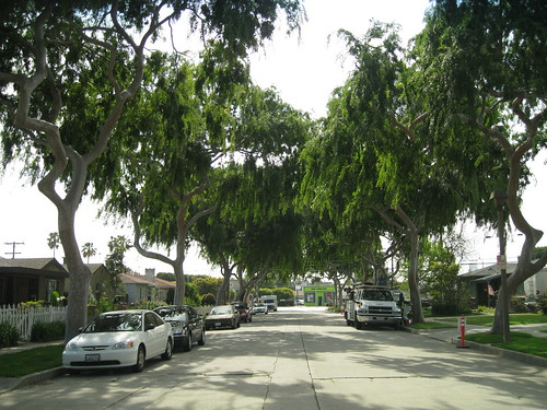 Chinese elm tree tunnel over road