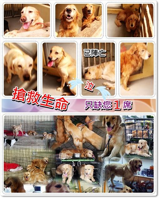 「無力者的悲哀」新屋收容所超過20隻的黃金獵犬+拉布拉多,安樂死時間逼近,只缺您這一席,懇請中途寄養,助養,訊息轉PO出去真的很重要,謝謝您,20100324