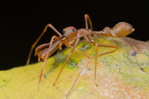 My 1st red ant-mimic spider...IMG_1227 copy