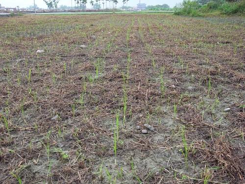 鳳林種稻記2010 川口由一式插秧