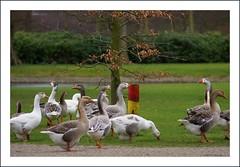 Lente in Clingendael (Netty Verseput) Tags: holland nature animal spring denhaag gans ganzen bos lente clingendael