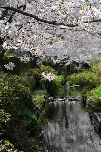 緑道沿いの桜
