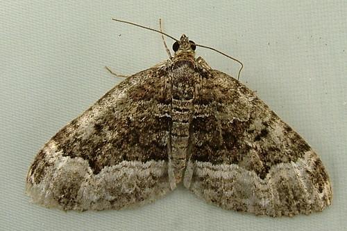 1895 Euphyia intermediata - Sharp-angled Carpet 7399