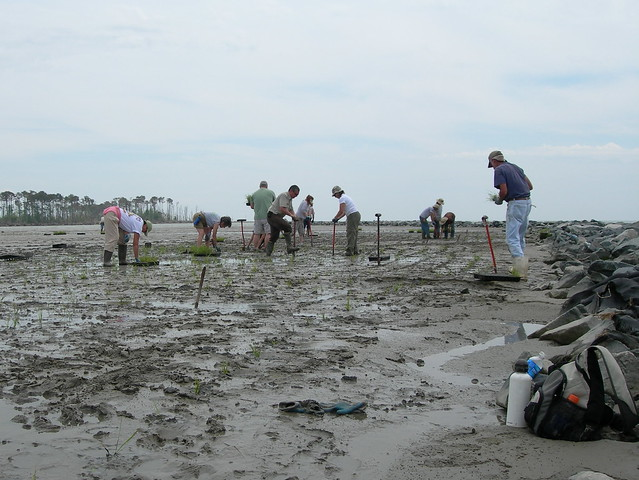 Volunteers planting grasses on Barren Island