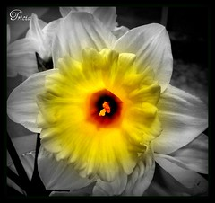 Daffy Down Dilly (Patricia Speck) Tags: white black flower yellow creative daffodil tricia patricia colouring selective speck