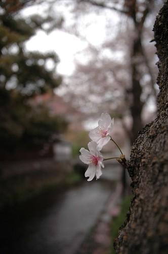 sakura/takase river