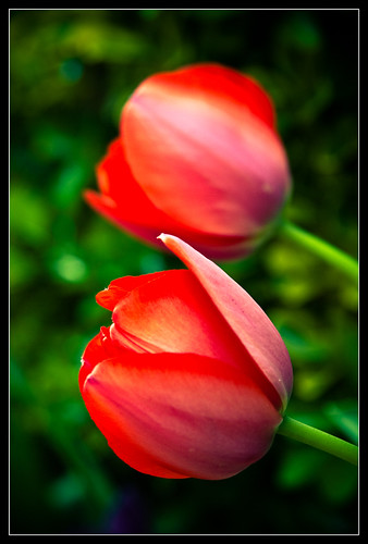 Tulipanes-5
