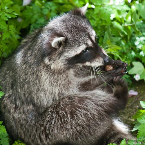 Raccoon #1