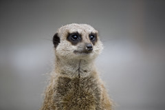 'Yes, I am aware of the advert and no, I still haven't been paid for it' (zoehd) Tags: meerkat market catchy catchphrase compare disgruntled stupidly msh0410 msh041017