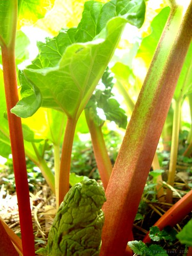 rhubarb jungle