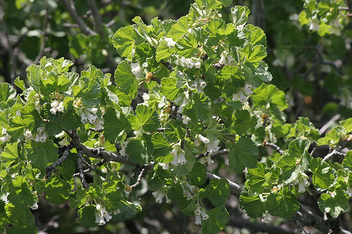 Ribes cereum - Wax Currant